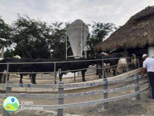 Hacienda La Gloria - Ordeño mecanico