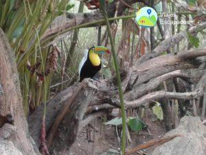 Tucán - Bioparque Ukumari